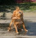 Dog Shake Stock Photography