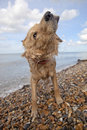 Dog shaking off water on pebble beach side view of mixed breed in herne bay kent Stock Image