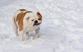 Dog shaking snow off english bulldog Royalty Free Stock Photo
