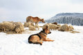 Dog and sheep german shepherd guarding herd of feeding skudde winter on the farm Royalty Free Stock Photography