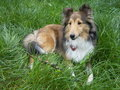 Dog Sheltie Stock Photos