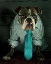 Dog in shirt and tie a blue brindle olde english bulldog a normal working day the office with glasses Royalty Free Stock Image