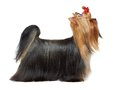 Dog in show Royalty Free Stock Photo