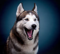 Dog siberian husky. studio shot Royalty Free Stock Images
