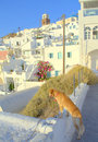 Dog sightseeing on santorini island greece inquisitive looking down a cliff the background of the amazing architecture picture Stock Photos