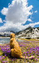 Dog sitting on a crocus field next to mountain lake Stock Photo