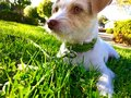 Dog sitting on grass Royalty Free Stock Photo