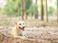Dog sitting rest and panting in the heat of the day brown Stock Images