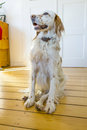 Dog sitting at the wooden floor Royalty Free Stock Photo