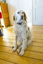 Dog sitting at the wooden floor in the dining room Royalty Free Stock Photo