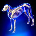 Dog Skeleton - Canis Lupus Familiaris Anatomy - perspective view Royalty Free Stock Photo