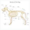 Dog skeleton veterinary vector illustration Royalty Free Stock Photo