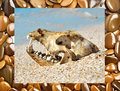 Dog skull on the beach against blue sky frame with stones collage Royalty Free Stock Image