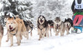 Dog sled race with husky dogs Royalty Free Stock Photo