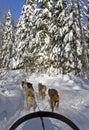 Dog sledding Stock Image