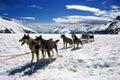 Dog sledding in Alaska Royalty Free Stock Photo