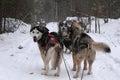 Dog sledding in canada Royalty Free Stock Photo