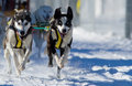 Dog sledding race Stock Image