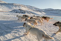 Dog sledding - side view of fast running Greenland dogs across f Royalty Free Stock Photo