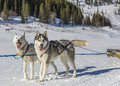 Dog sledding team a pair of husky dogs harnessed in front of a sleigh in winter with trees in the background Royalty Free Stock Photos