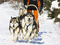 Dog sledge Royalty Free Stock Photography