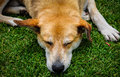 Dog Sleeping On Grass Royalty Free Stock Image