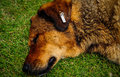 Dog Sleeping On Grass Stock Image