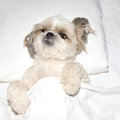 Dog sleeping on a pillow in bed under the covers Royalty Free Stock Photo