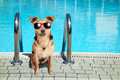Dog small fawn swimming pool sunglasses wearing red at Royalty Free Stock Photo
