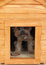 Dog at small wooden house yorkie Stock Photos