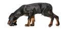 Dog smelling dog treate Royalty Free Stock Photo