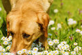 Dog smelling flowers photo of field chamomile Royalty Free Stock Image