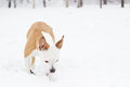 Dog sniffing at snow american staffordshire terrier in the park Stock Photo