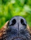 Dog snout close up animal nose Royalty Free Stock Image