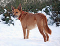 Dog in the snow Stock Photography