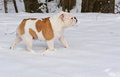 Dog in the snow english bulldog Stock Photography