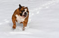Dog in the snow english bulldog running Royalty Free Stock Image