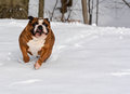 Dog in the snow english bulldog running Stock Photos