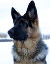 Dog on snow german shepherd Royalty Free Stock Photography