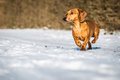 Dog in the snow winter Stock Photography