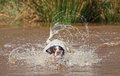 Dog splashing in water swimming and with ball mouth Stock Photo