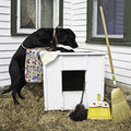 Dog spring cleaning the dog house large black wearing a print apron and using a rag to clean top of there is also a feather duster Royalty Free Stock Image