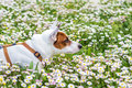 Dog at spring the wonderful friend sweet and intelligent he enjoys playing with flowers Stock Photography