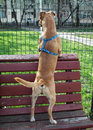 Dog standing on bench stang a and looking through the fence Royalty Free Stock Images