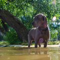Dog standing in river water at hot summer day Royalty Free Stock Photo
