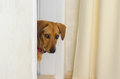 The dog is standing on the threshold in the doorway and looks into the room Royalty Free Stock Photo