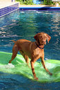 Dog stands on raft in pool Stock Photo