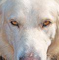 Dog stare at the camera close up of an angry white Royalty Free Stock Images