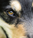 Dog staring into the distance close up view of s face in profile with focus on one amber eye is he friend or enemy is he offering Royalty Free Stock Photography
