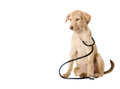 Dog and stethoscope beautiful puppy while wearing a around his neck Stock Image